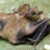 :iconflyingfox-bat: