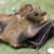 :iconflyingfox-bat: