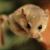 :icongliridae: