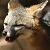 :icongray--fox: