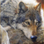 :icongreytimberwolf: