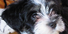 :iconhavanese-haven: