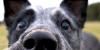 :iconherdingdogs: