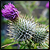 :iconlavander-thistle: