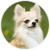 :iconlonghaired-chihuahua: