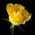 :iconone-yellow-flower: