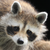 :iconraccoon-bitch: