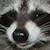 deviantart helpplz emoticon raccoonheheplz