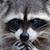 deviantart helpplz emoticon raccoonupsplz
