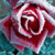 :iconrosewater11: