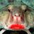 :iconroseylippedbatfish: