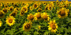 :iconrussias-sunflowers: