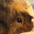 :iconrusty-the-guineapig: