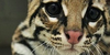 :iconsavannah-cat-lovers: