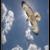:iconsoaringhawk66: