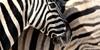 :iconspirit-of-africa: