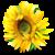 :iconsunflowersloan: