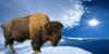:icontapioca-bison: