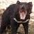 :icontasmanian-devil-neko: