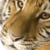 :iconthe-siberian-tiger: