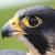 :iconvermilion-falcon: