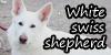 :iconwhite-swiss-shepherd: