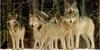 :iconwolf-community: