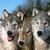 :iconwolfliar: