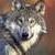 :iconwolfplz:
